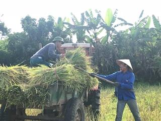 Thanh niên Nghĩa Đàn đội nắng giúp dân gặt lúa