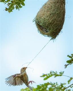 chim Dòng dọc làm tổ